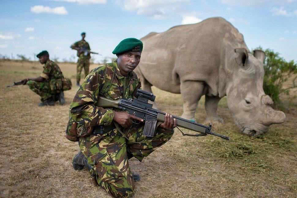 Muži chránia jedného zo šiestich zostávajúcich kusov bieleho nosoržca.