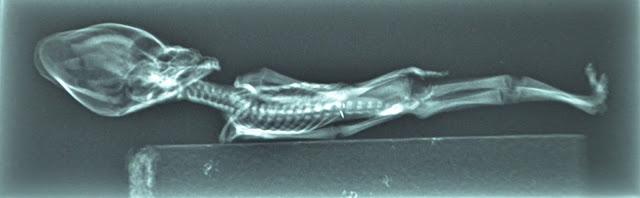 Po internete sa samozrejme šírili chýry, že sa jedná o mumifikované ľudské embryo, opičie telíčko a niektorí ľudia tvrdili, že ide o podvod. Tieto tvrdenia však boli ihneď vyvrátené. Výskumy dokázali, že sa jedná o skutočný organizmus. Na snímkach bolo vidno kostru a orgány, ako pľúca či srdce.