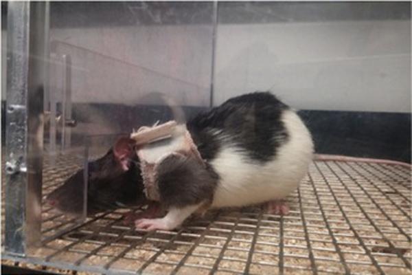 Vedci chceli zistiť, či si môžu zvieratá spájať určitý druh oblečenia s aktom sexu. Vybraným potkanom obliekali na seba malé kabátiky, iné u samcov a iné u samíc. Keď im ich dali dole mali spolu tento akt. Vedci dokázali, že zvieratá sa správajú podobne ako ľudia.