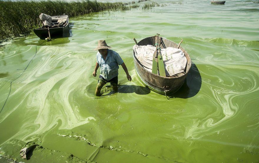 """Rybár sa brodí v jazere Chaohu, jeho voda má """"prirodzene"""" zelenú farbu."""