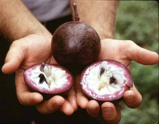 Odroda jablka nazývaná hviezdna.