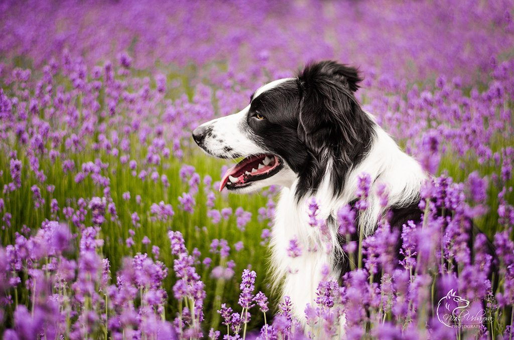 fotografie psov (1)