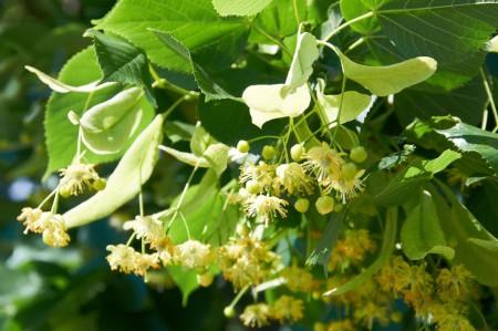 povlak lipovy kvet