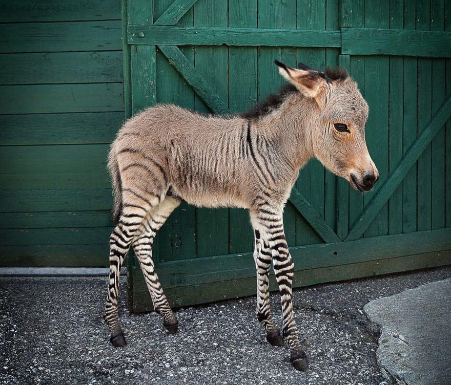 hybridne zvierata (8)