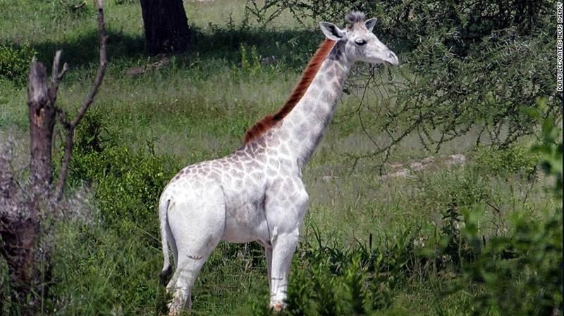 žirafa omo 2