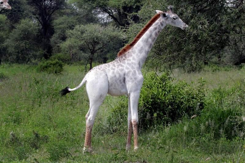žirafa omo 3