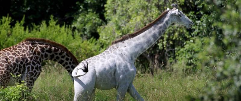 žirafa omo 4