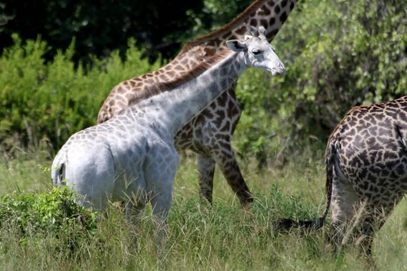 žirafa omo 5
