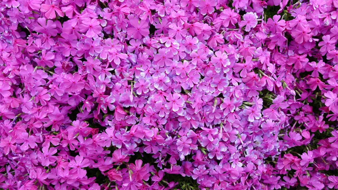 manzel-sadi-kvety2