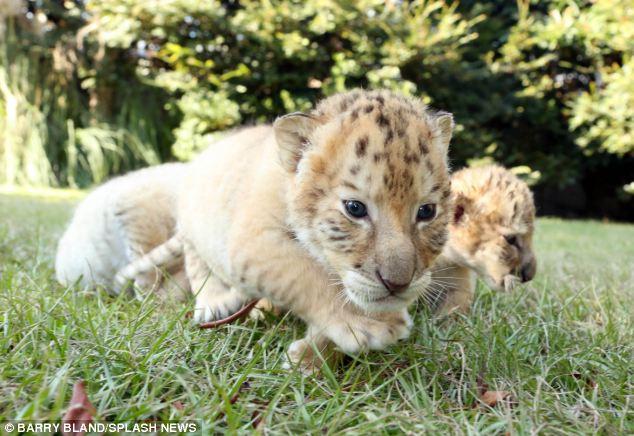 liger3