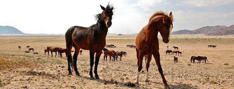 wild-horses-namibia.com
