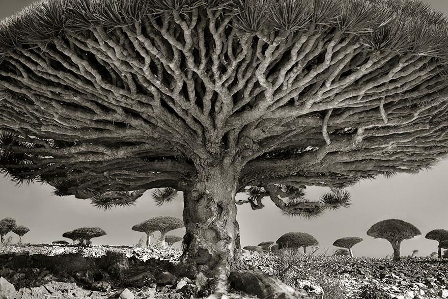 najstarsie-stromy