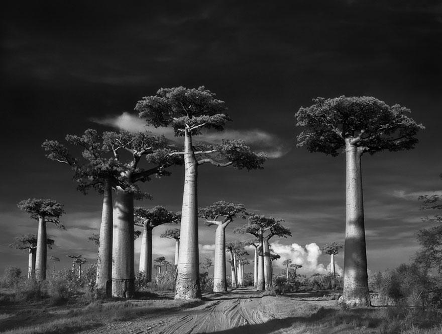 najstarsie-stromy1