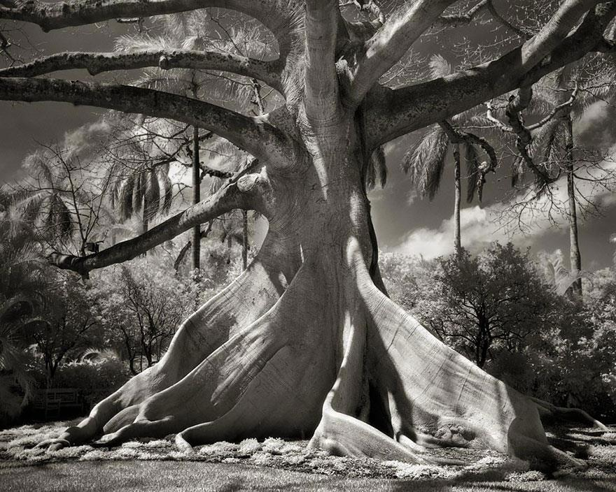 najstarsie-stromy2