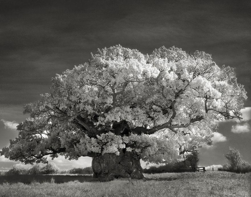 najstarsie-stromy4