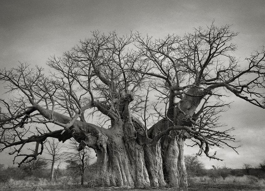 najstarsie-stromy5