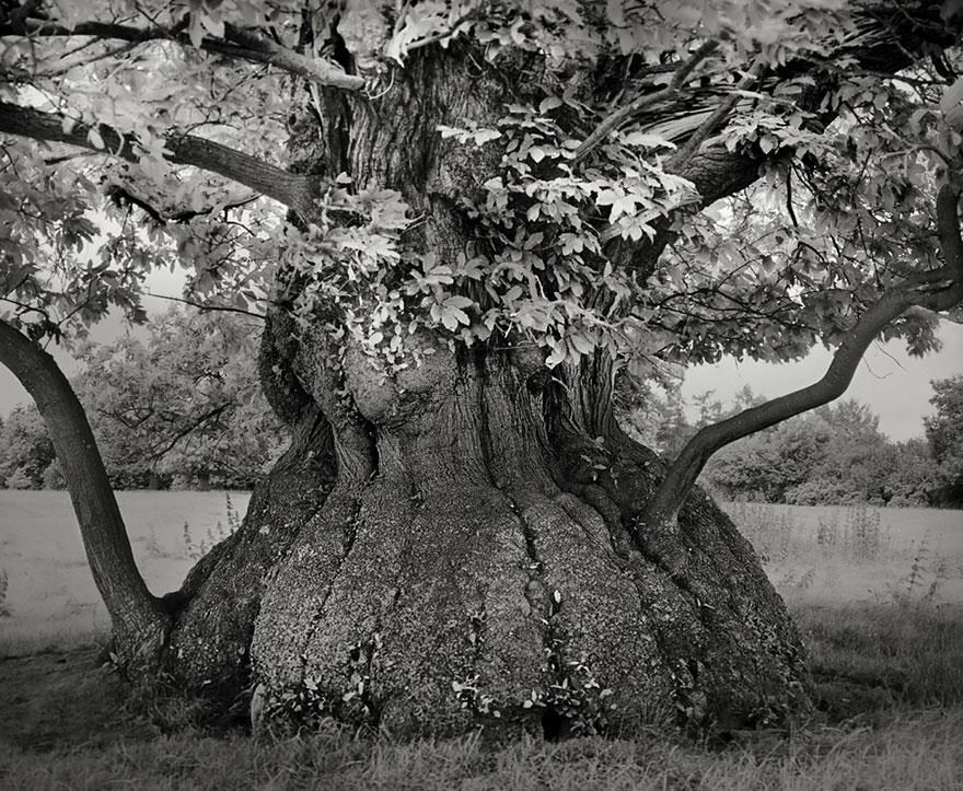 najstarsie-stromy6