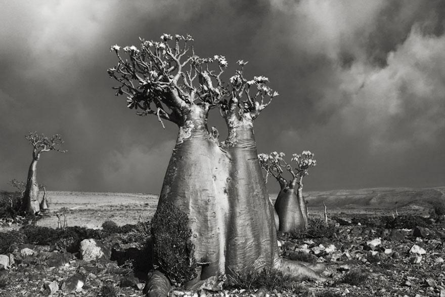 najstarsie-stromy7